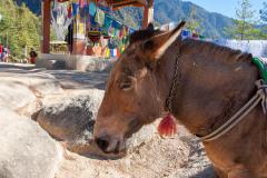 Optional pony trip to Taksang cafeteria