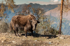 Yak seen near Gangtey
