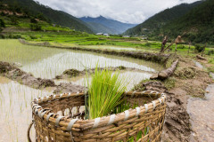 Passing through a rice field on the way to Kahmsum Yuelley
