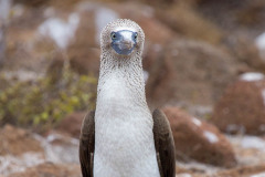 A blue footed booby on Galapagos