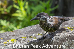 Spotted Nutcracker Bird